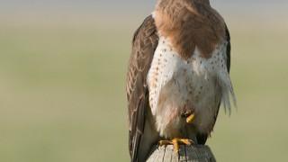 swainsons-hawk-adult-montana-mia-mcpherson-7461