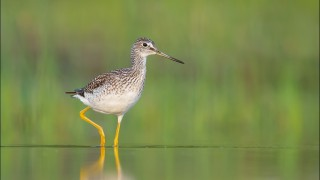 tn_Greater-Yellowlegs_1585-1