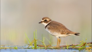 tn_Semipalmated-Plover_2043-1