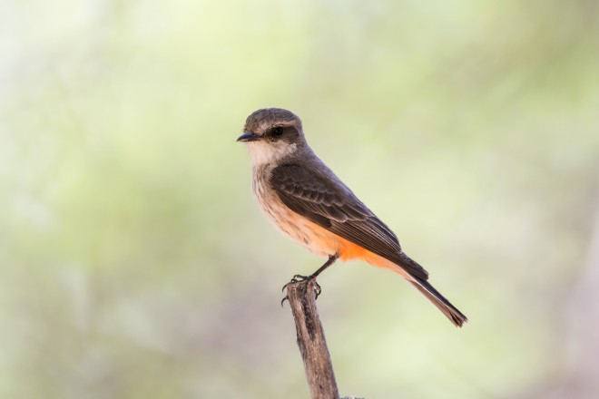 vermillion-flycatcher-1282