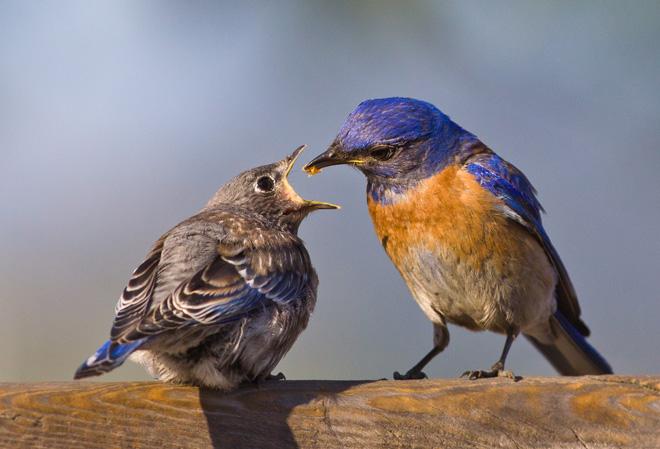 Western Bluebirds ©2013 Allen Hirsch
