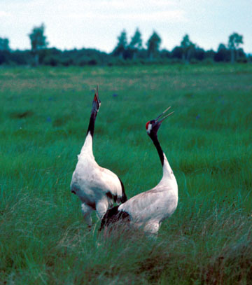 Red-crowned Cranes call in unison. Photo courtesy International Crane Foundation