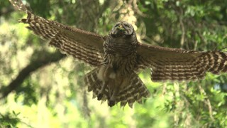 Barred-Owl-in-flight