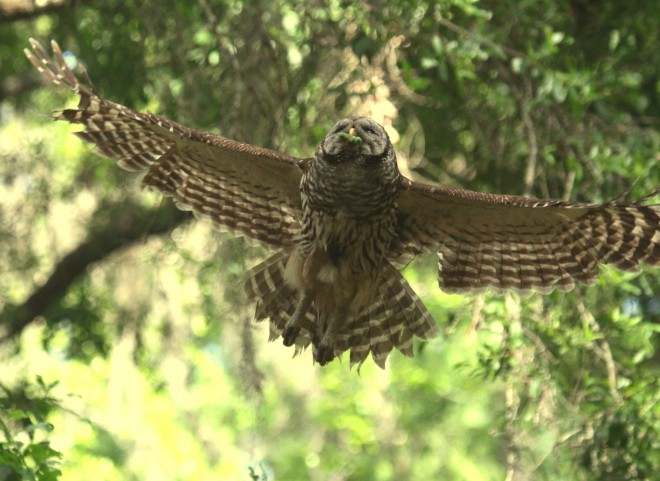 Barred-Owl-in-flight