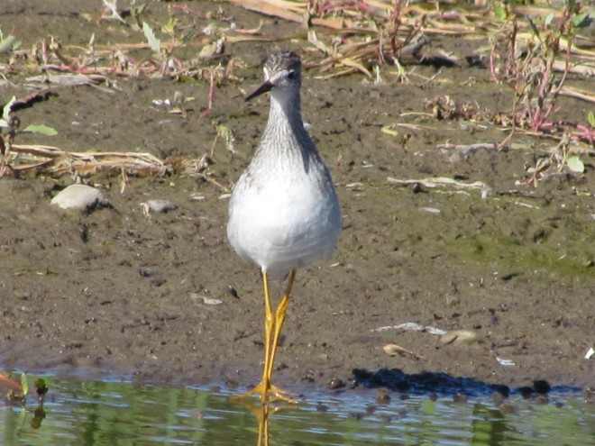 Bear-St.-Yellowlegs