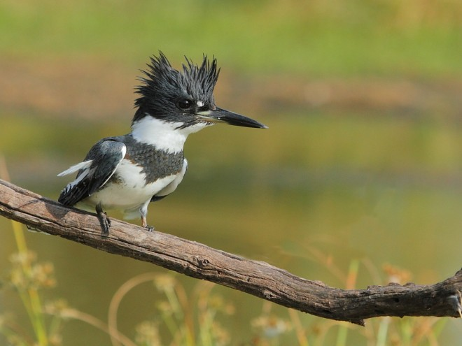 Belted-Kingfisher