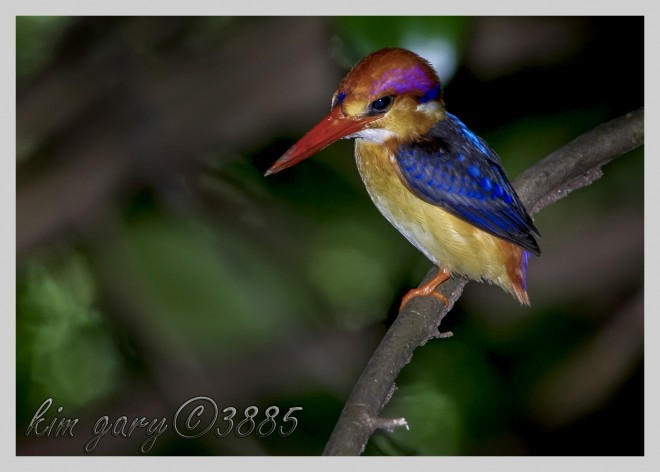 Black-Backed-Kingfisher-on-Perch-Watermark-Mid-Tone-Up