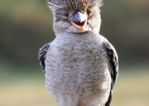Blue-Winged-Kookaburra