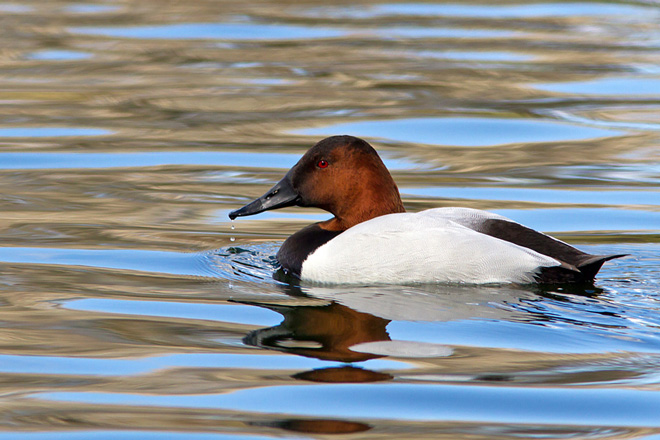 Canvasback by Lois Manowitz