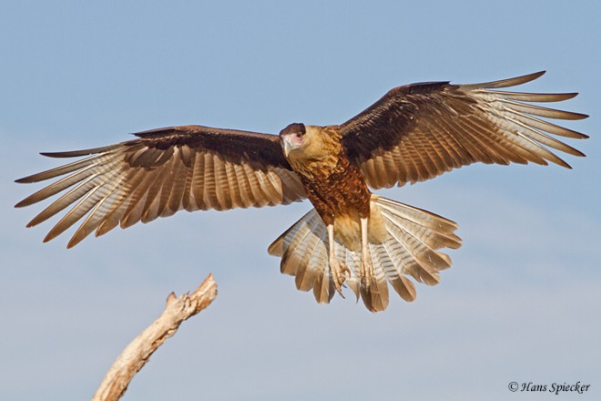 Crested Caracara in Texas, photo by spiecks