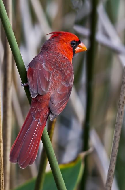 CardinalInReeds