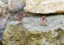 Cassins-Finch-males-534