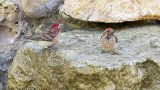 Cassins-Finch-males-534