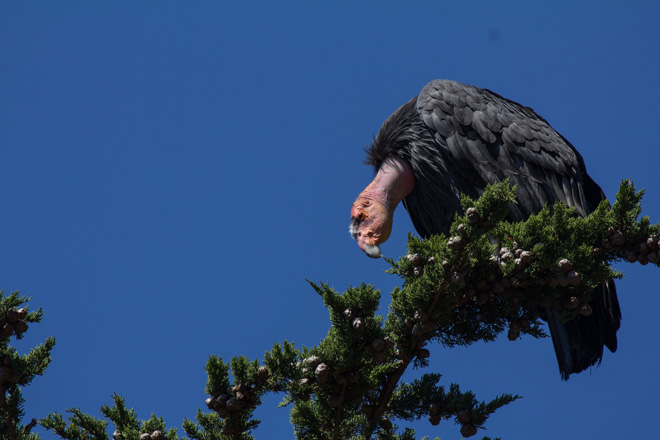 This California Condor, a female, was hatched and released in 2006. Laura Erickson photographed it in Big Sur in September.