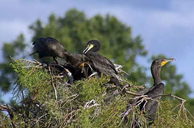 CormorantFeeding