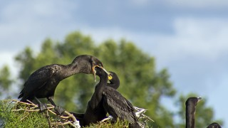 CormorantFeeding4