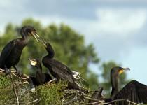 CormorantFeeding6