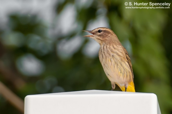 DSC_2945-Palm-Warbler