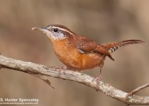 Carolina Wren in Spring Hill, Florida, by S. Hunter Spenceley.