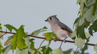 DSC_3745-Tufted-Titmouse