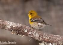 DSC_3875-Pine-Warbler