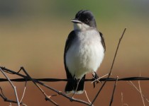 Eastern-Kingbird1