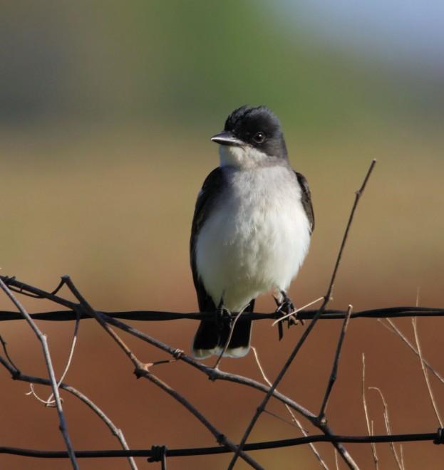 Eastern-Kingbird1