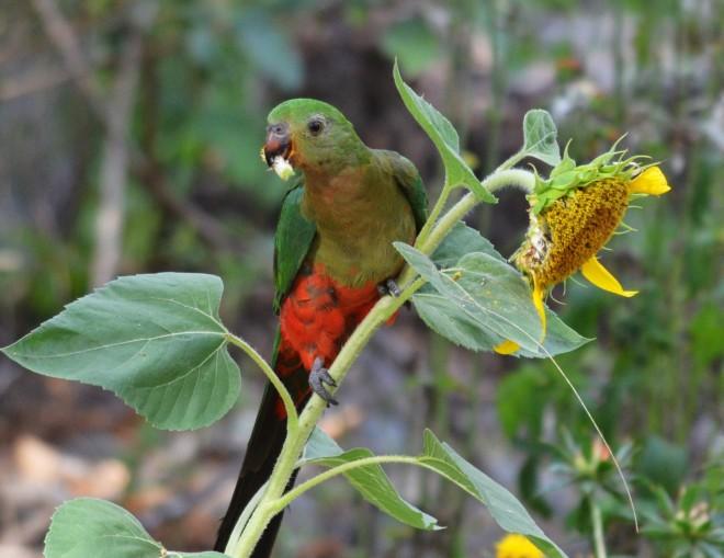 Female-King-Parrot