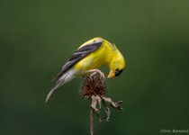 Goldfinch-2-MD-082513