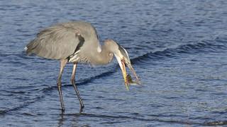 Great-Blue-Heron-breakfast