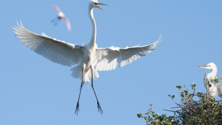 Great-Egret-WIF-NAT-GEO-pic