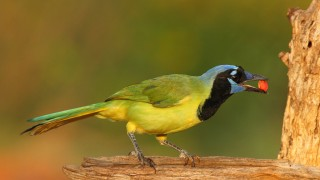 Green-Jay-with-peanut