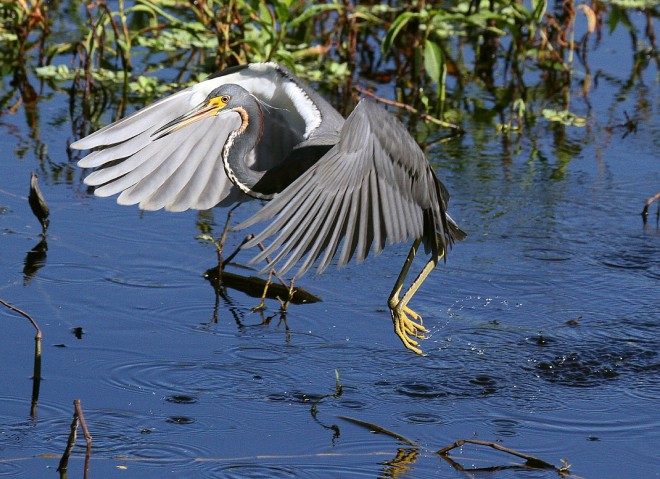 IMG_8056-Tri-colored-Heron