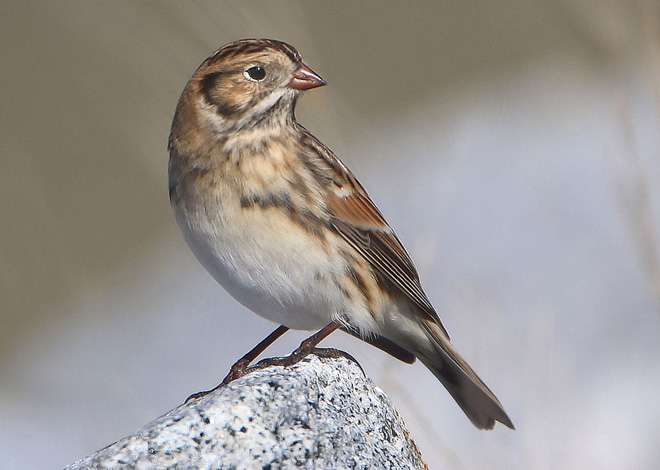 Lapland Longspur by Nigel (Creative Commons)