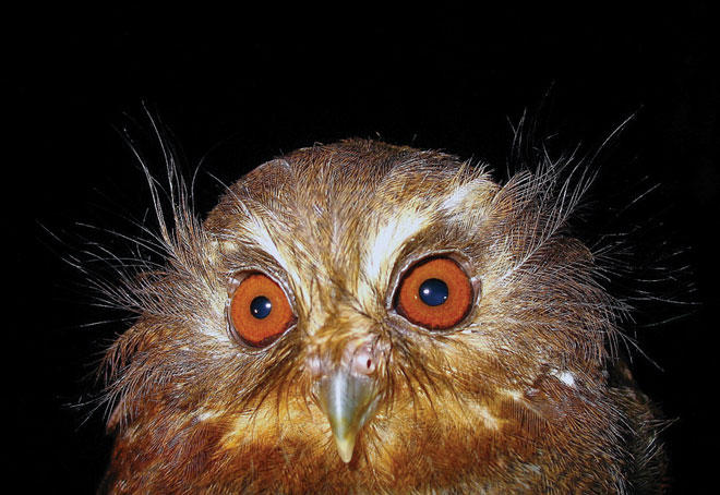 Tiny, rare Long-whiskered Owlet is found only in wet elfin forest and tall forest in northern Peru. Photo courtesy of Asociación Ecosistemas Andinos (Ecoan).