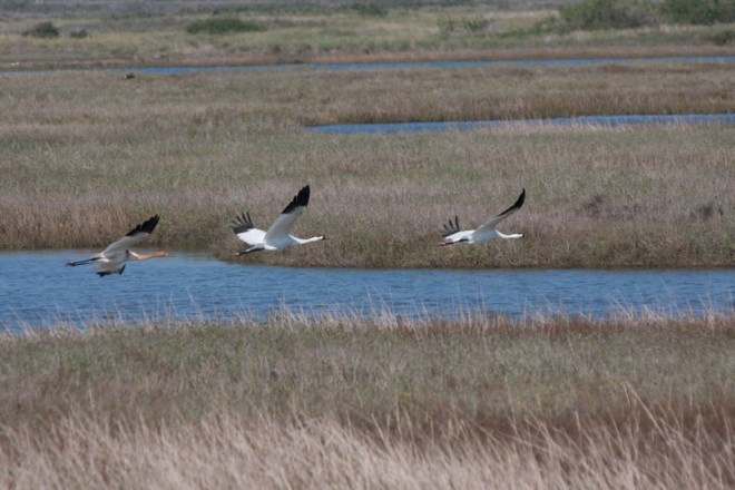Two adult Whooping Cranes and their chick fly at Aransas National Wildlife Refuge. Photo by Donald Auderer/The Aransas Project