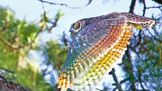 MG_5489_edited-1-Great-Horned-Owl-in-Flight