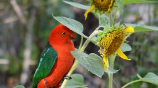 Male-King-Parrot1