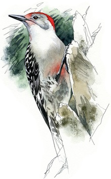 Red-bellied Woodpecker by Rob Mancini.