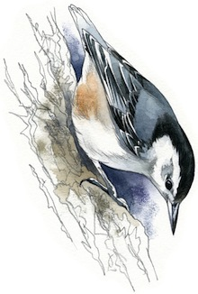 White-breasted Nuthatch by Rob Mancini.