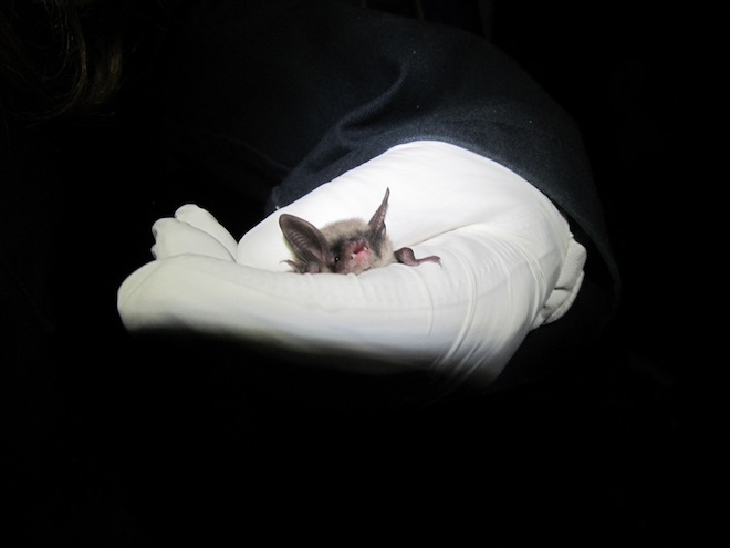 A northern long-eared bat rests in the white-gloved hand of a researcher who is about to release it, July 5, 2012. Photo by Scott Bergeson, Indiana State University, U.S. Fish and Wildlife Service - Midwest Region. (Creative Commons)