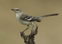 Northern-Mockingbird-1-Edit-jpeg-for-NAT-GEO-MY-SHOT