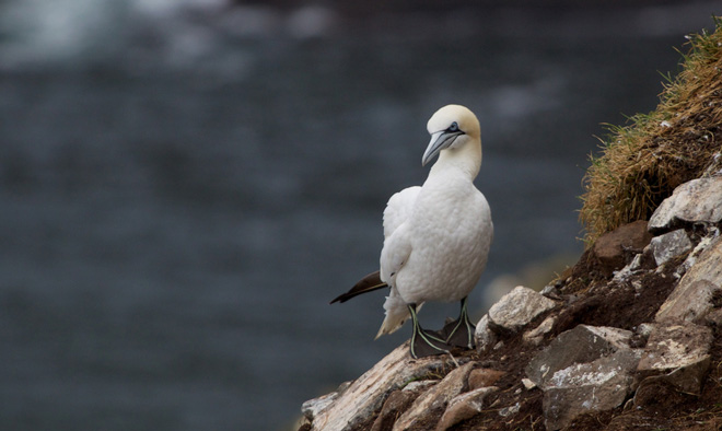 Northern Gannet by Matt MacGillivray (Creative Commons)