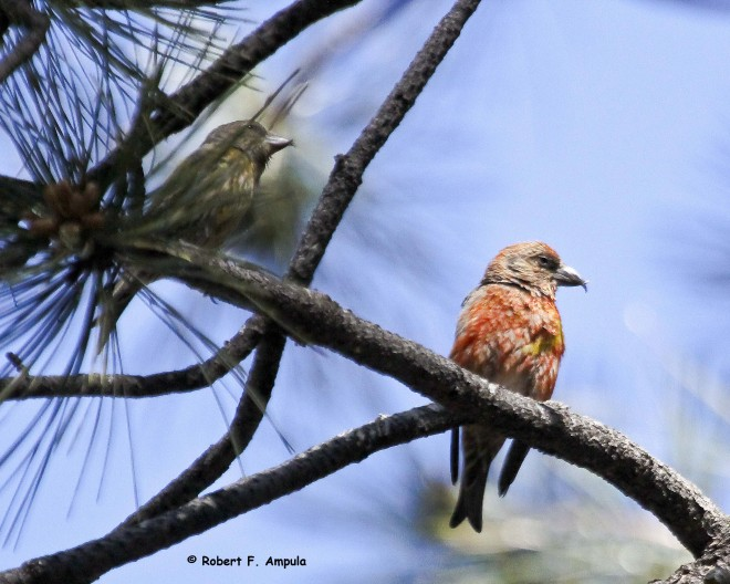 Red-Crossbills-256