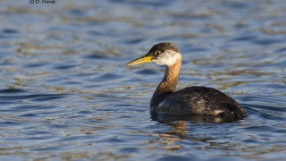 Red-necked-Grebe-4