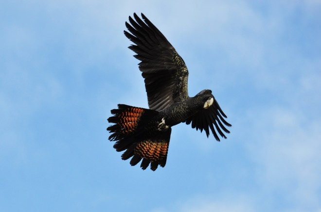 Red-tailed-Black-Cookatoo