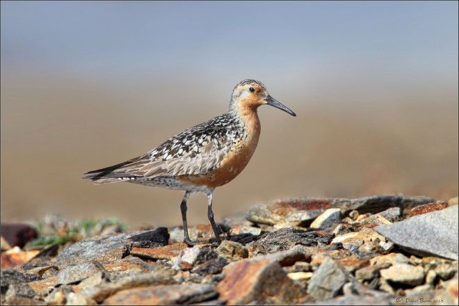 Red Knot by Daniel Behm