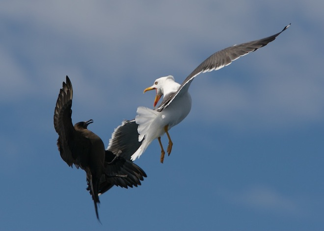 An Arctic Skua attacks a Lesser Black-backed Gull. Photo © C. Speedie/Wave Action.