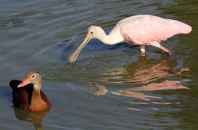 Spoonbill_Duck