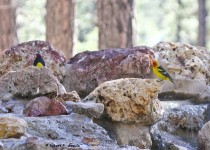 Western-Tanager-Williamson-Sapsucker-566
